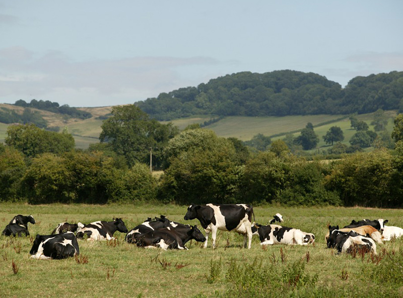CHECS - Dairy Cattle in a field